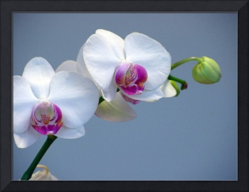 White Orchid Loveliness