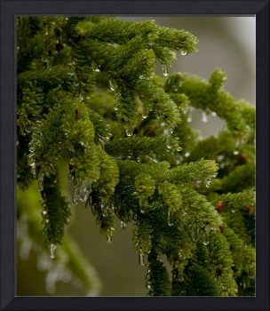 Evergreen Needles in Rain