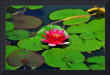 Magenta lily in water
