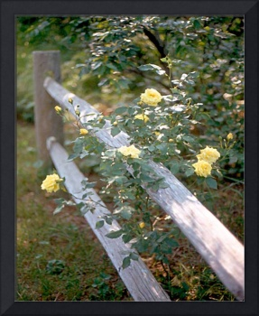 Yellow roses and fence