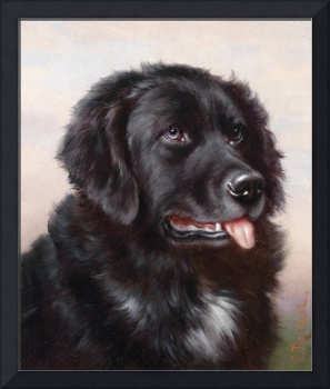 Newfoundland Dog Portrait