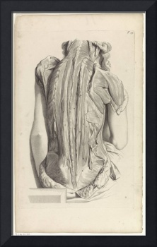 Second anatomical study of the muscles of the back