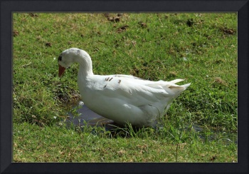 White Goose in a Field