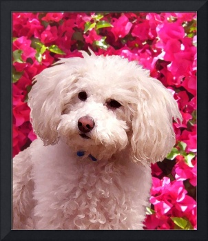Poodle on Backgroud of Bougainvillea