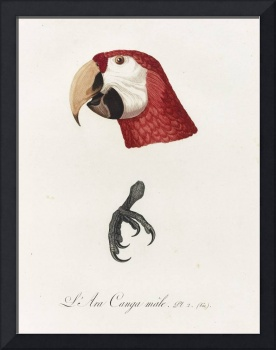Jacques Barraband Antique Scarlet Macaw Illustrati