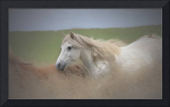 whiteicelandichorse