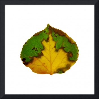 Brown Green and Yellow Aspen Leaf 1