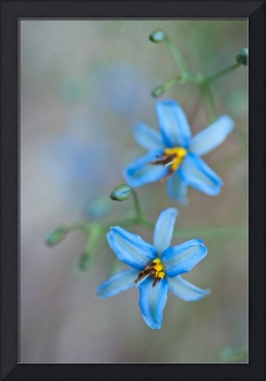 Dianella Flowers in the Wild, 1