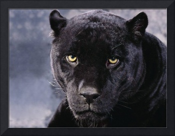 Black Panther Up Close