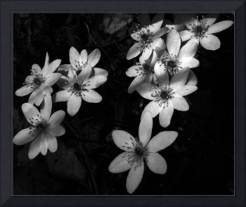 Hepatica Black and White