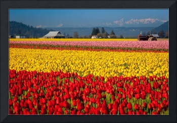 Tulips and the Olympics