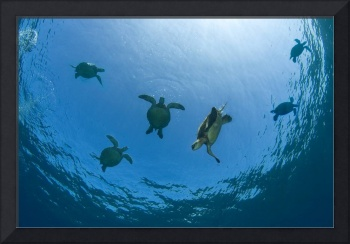 Hawaii, Green Sea Turtles Swim Near The Surface