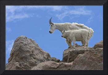 A mountain goat nanny and her kid balance on the r