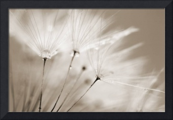 Sepia Dandelion Clock with Water Droplets