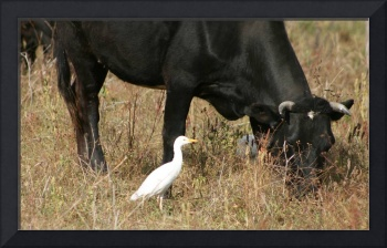 Cattle Egret Beside a Cow