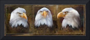 bald eagle face studies
