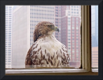 Urban Red-tailed Hawk