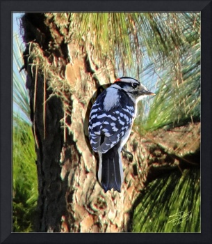 Woodpecker in a PIne Tree