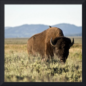 Bird Backed Bison