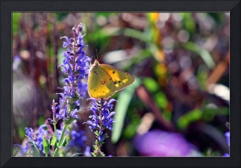 Butterfly Yellow Sulphur in Garden Field