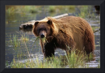 Brown Bear With Mouth Full Of Grass, Alaska Wildli