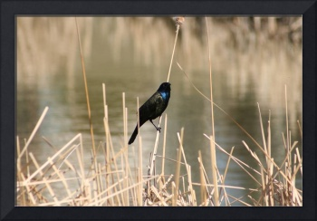 Common Grackle on Marsh Grass
