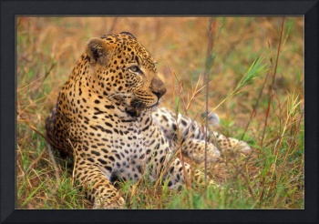 Leopard Lying In Grass