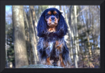 A Proud Cavalier King Charles Spaniel