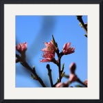 Square Peach Blossoms IMG_6613 by Jacque Alameddine