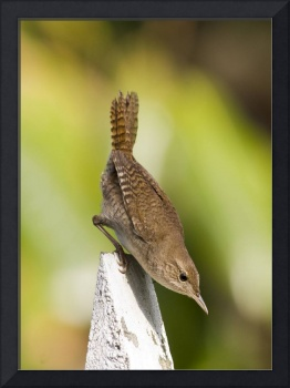 Perched House Wren