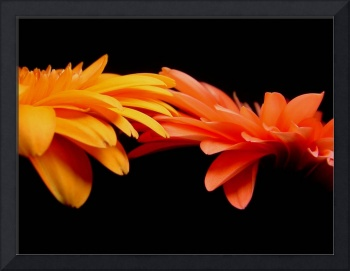 Red & Orange Gerbera Daisies Blaze