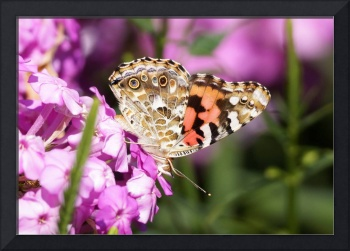 Butterfly on pink Phlox
