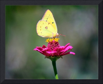 Cloudless Sulphur Butterfly with Green Background