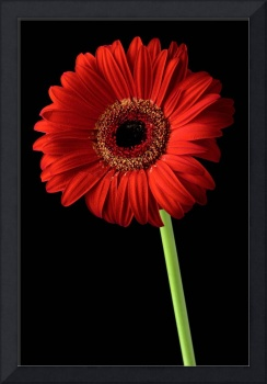 Red gerber daisy flower on black background