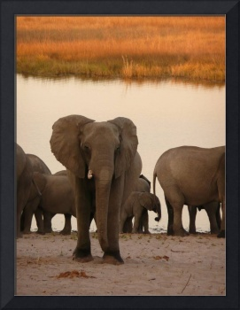 Lost African elephant