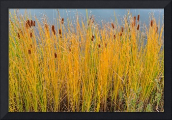 Colorful Cattails