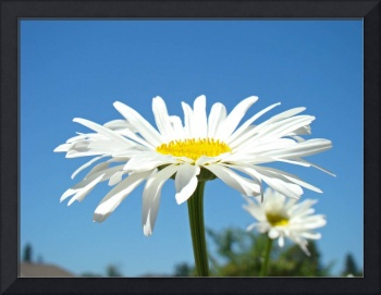 White Daisy Floral art prints Summer Daisies