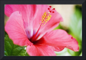 Close-Up Of Beautiful Bright Pink Hibiscus With Bl