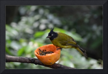 Exotic Bird Eating Papaya