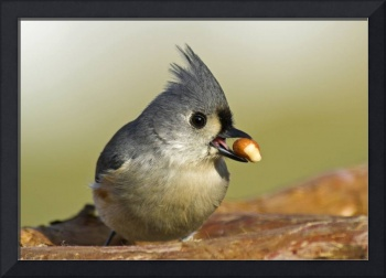 Tufted Titmouse -- At the Breakfast Bar