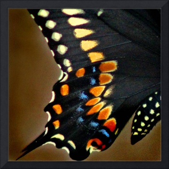 Black Swallowtail Butterfly Wing