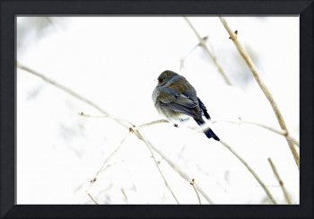 Dark-eyed Junco Songbird in Snowstorm