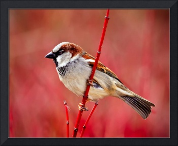 Male House Sparrow on a Dogwood Branch.