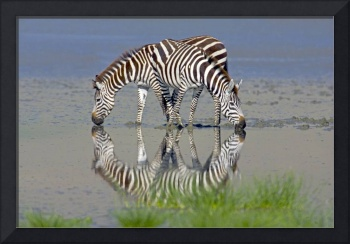 Two zebras drinking water from a lake