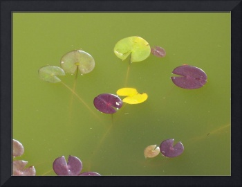 Lilypads in the pond