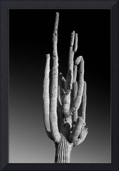 Giant Saguaro Cactus Portrait Black and White
