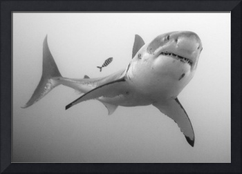 Great White Shark in B&W