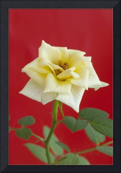 Close up of the yellow rose on red background
