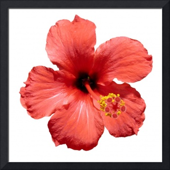 Red Hibiscus flower