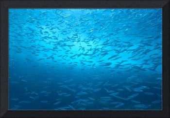 School Of Small Silver Fish, Hundreds In Clear Blu
